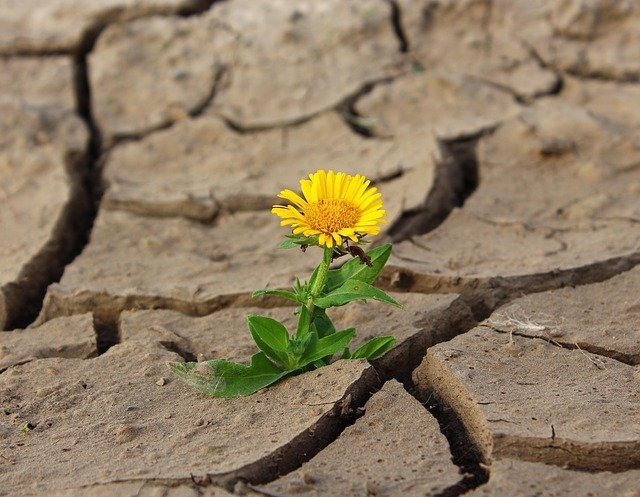 A tenacious dandelion growing out of deeply parched earth