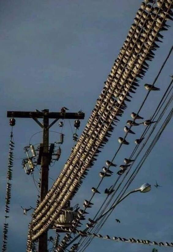 Photo of thousands of birds sitting close together on power lines closest to high power units